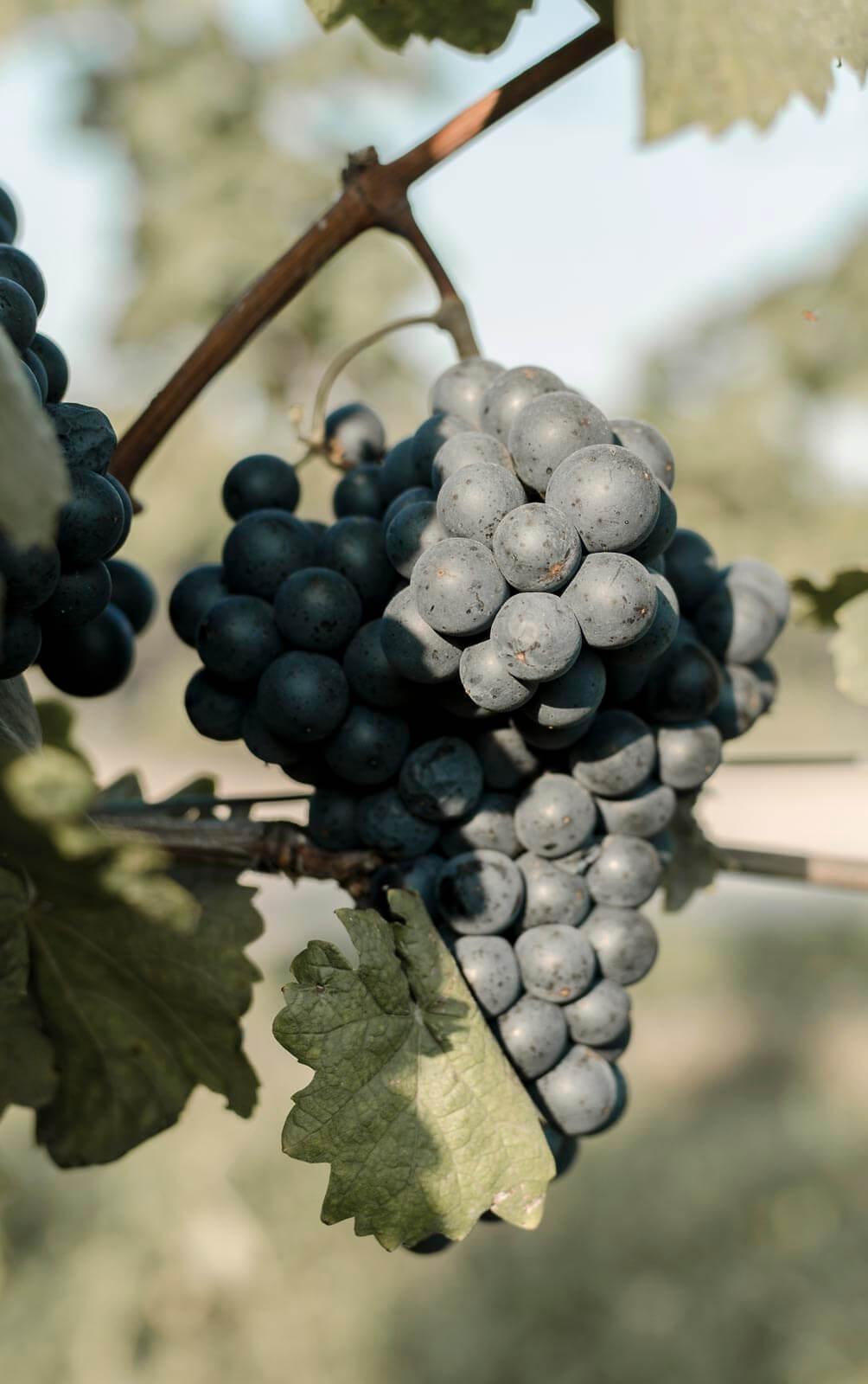 rote Weintraube